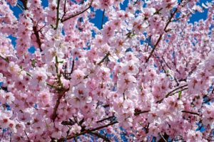 cherryblossam is blooming