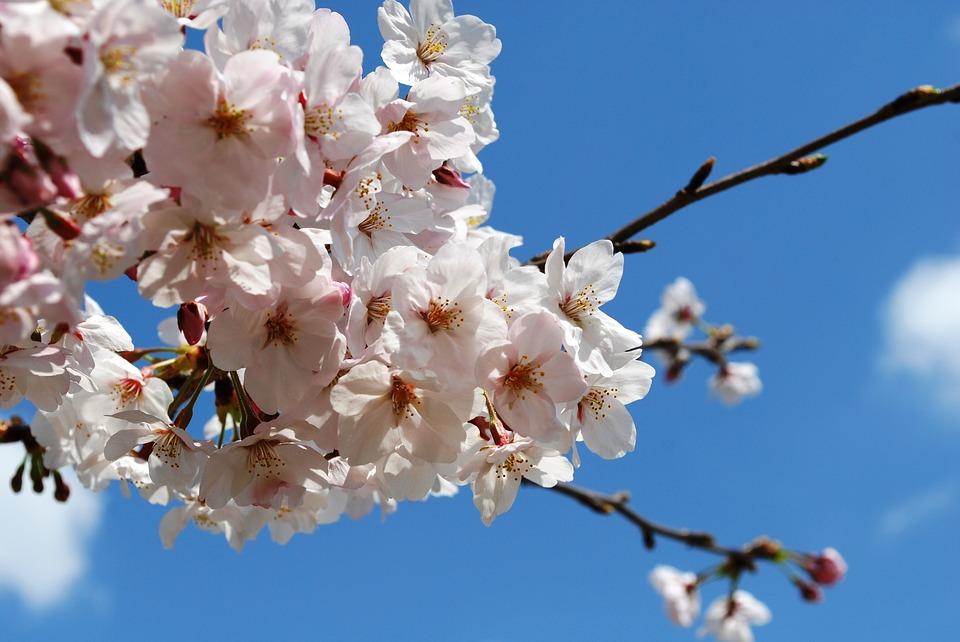 桜 青い空